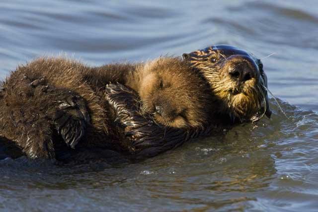 mamá de nutria marina y su cria