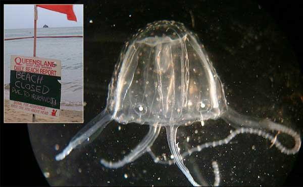 medusa Irukandji (Carukia barnesi)