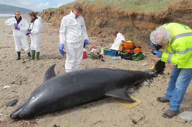 necropsia de un delfín varado