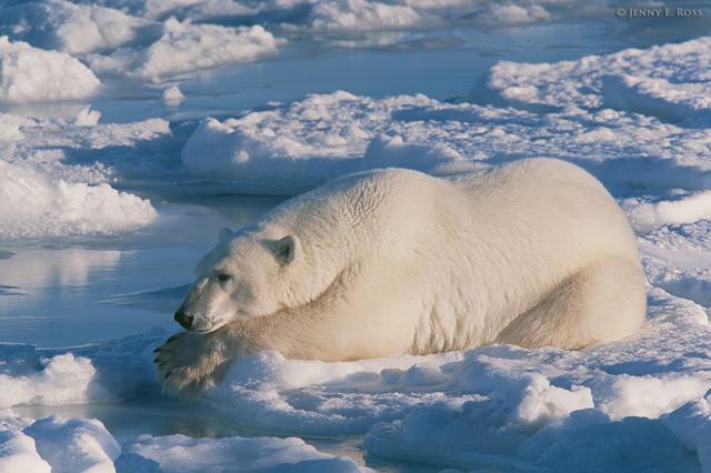 oso esperando a una foca