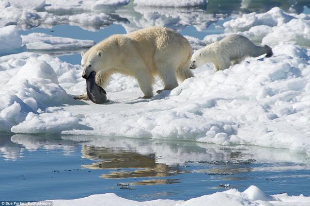 oso polar ha cazado una foca