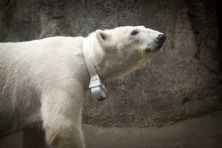 dispositivo de seguimiento en un oso polar