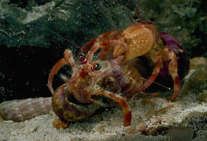 pelea de cangrejos ermitaños