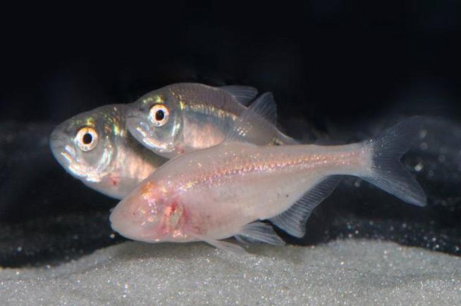pez de las cuevas mexicano