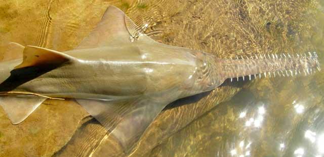 pez sierra común (Pristis pristis)
