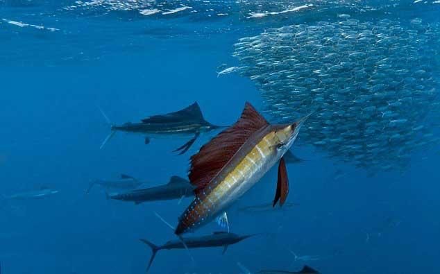 pez vela atacando un banco de sardinas