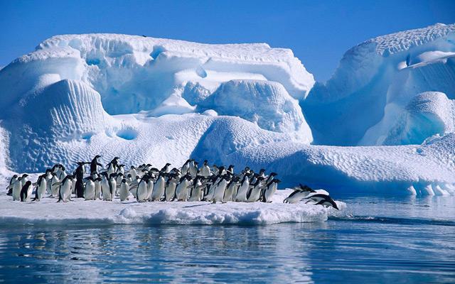 Pinguinos Adelia en la Antártida