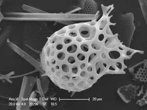 plancton al microscopio