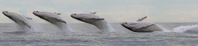 salto de Migaloo, la ballena blanca