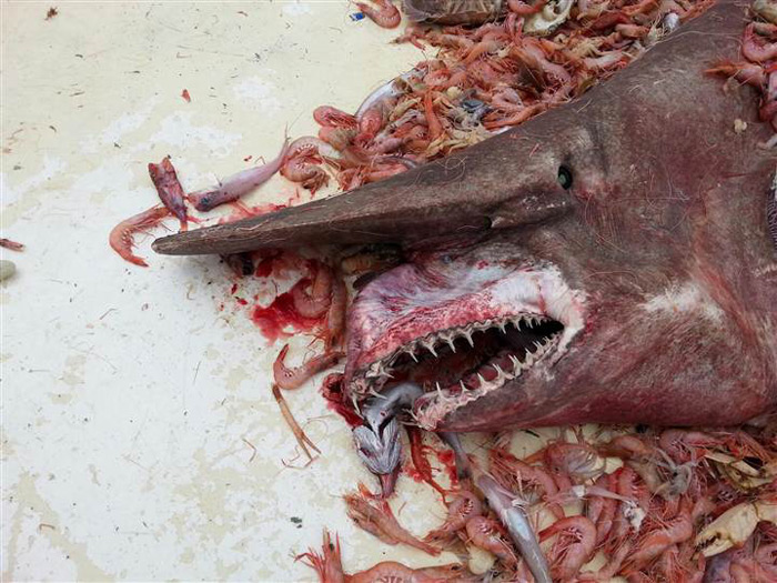 tiburón duende capturado en Florida