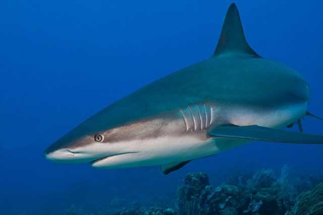 evolución del tiburón