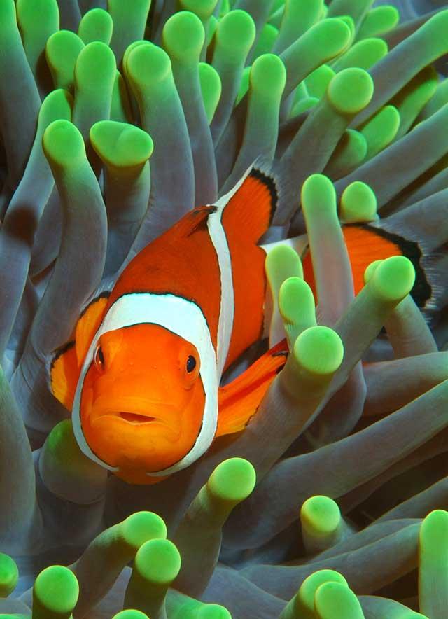 anémona del pez payaso