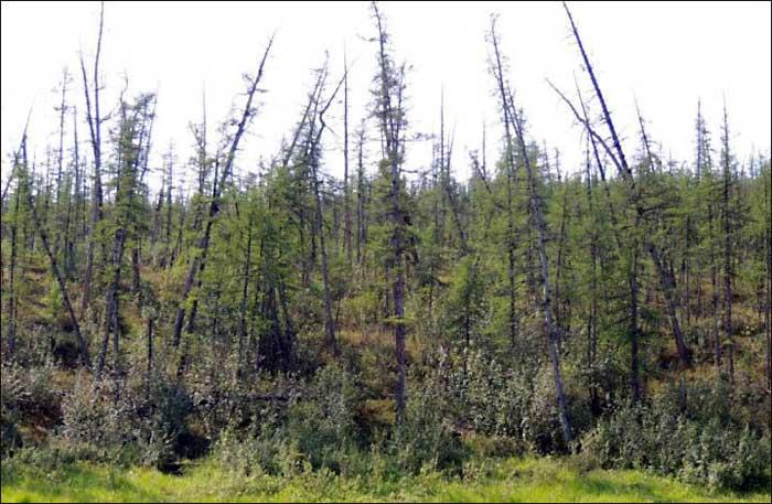 árboles borrachos en el Ártico