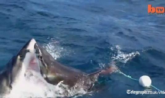ataque caníbal entre tiburones
