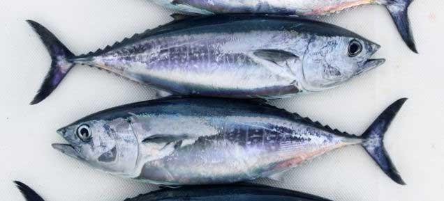 atún rojo del Atlántico