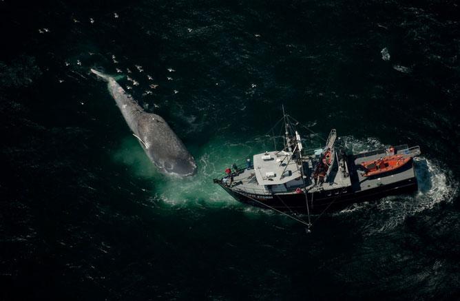 marcaje de una ballena azul