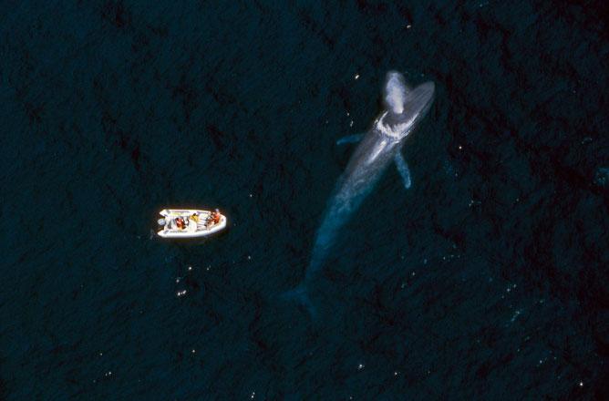 ballena azul respirando