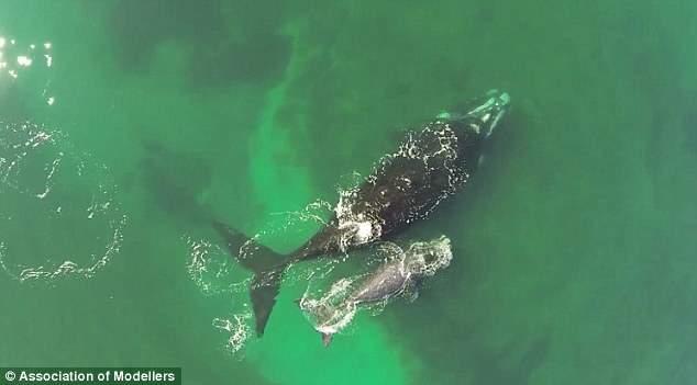 dron filma a ballena franca austral y su cría