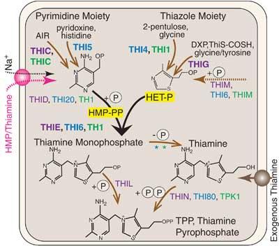 biosíntesis del fitoplancton