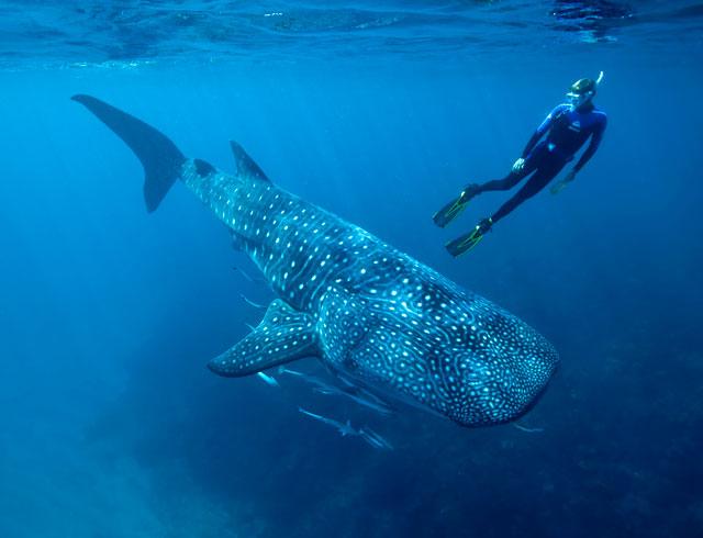buceo con tiburón ballena