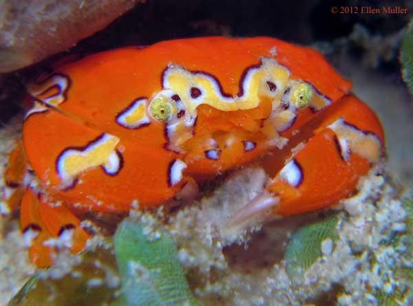 cangrejo payaso Gaudy (Platypodiella spectabilis)