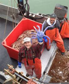 cangrejo real azul pescado en Alaska