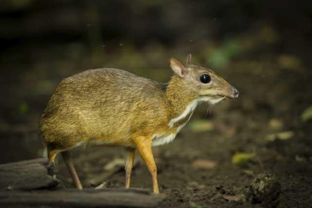ciervo ratón filipino (Tragulus nigricans) o pilandok