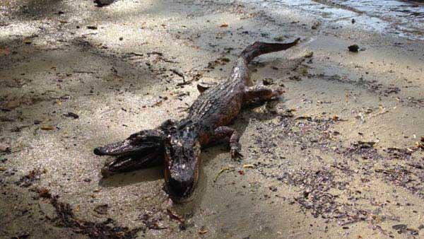 cocodrilo 2 cabezas, Florida