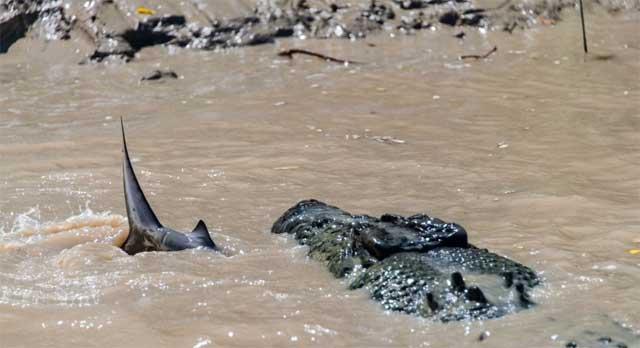 cocodrilo-come-tiburon-australia-lucha entre un cocodrilo y un tiburón toro en río de Australia