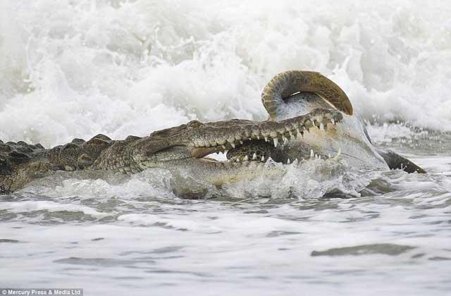 cocodrilo marino muerde a tortuga verde en la cabeza