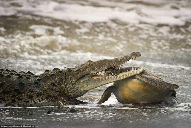 cocodrilo marino muerde a tortuga por la cabeza