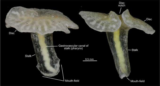 Dendrogramma emigatica