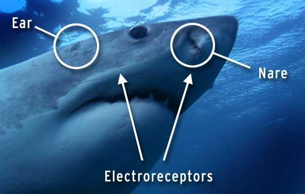 órganos electroreceptores en el tiburón