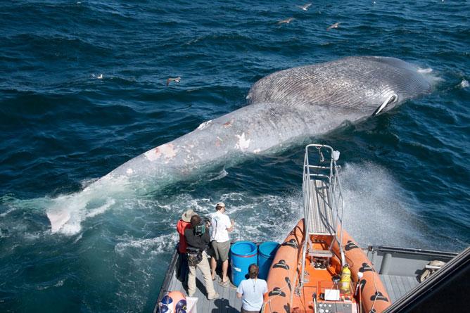 etiquetado de ballena azul