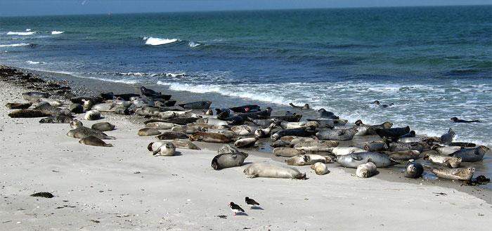 focas de puerto en el Mar del Norte