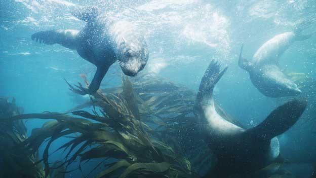 las focas llevaron la tubercolosis a América