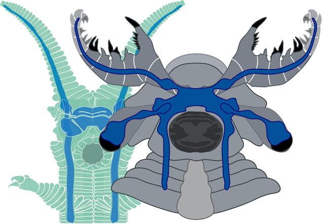 Lyrarapax unguispinus y gusano de terciopelo