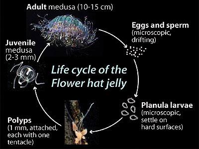 ciclo de vida de la medusa sombrero de flores