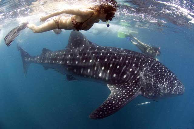 nadar con tiburón ballena en Filipinas