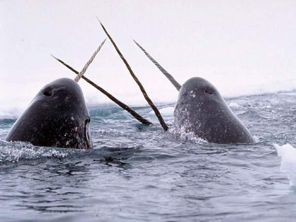 ballenas narval