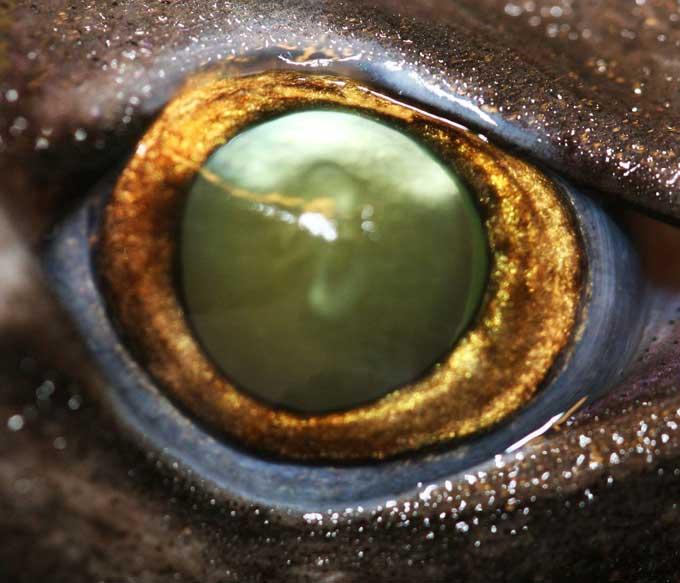 ojo de un tiburón linterna