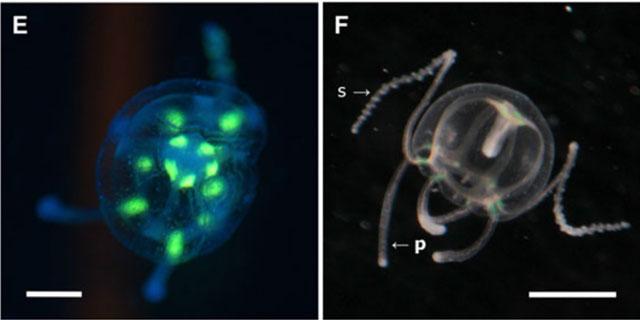 Olindias formosus, larvas