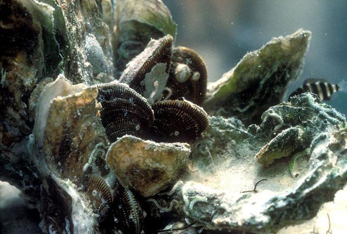 ostras acidificación océano