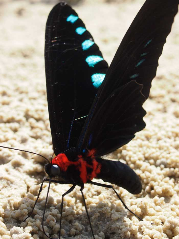 Palawan, mariposa de alas gigantes de Wallace