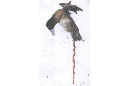 pene del pato de pico azul argentino