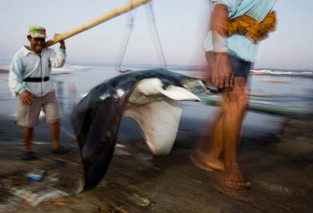pesca de branquias de manta rayas en Indonesia