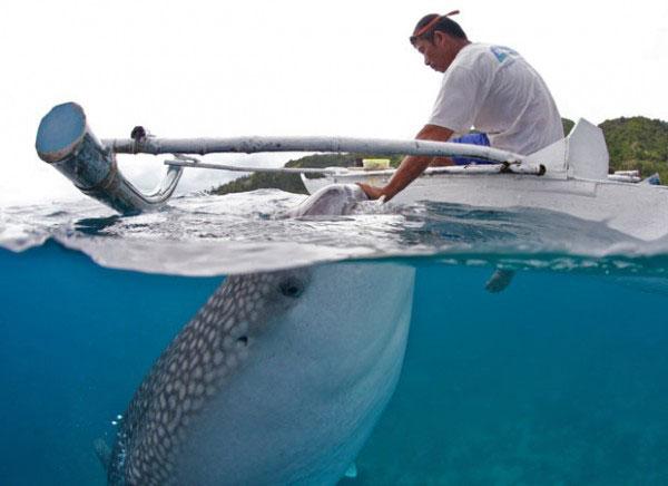 pescador de Cebu alimenta a un tiburón ballena