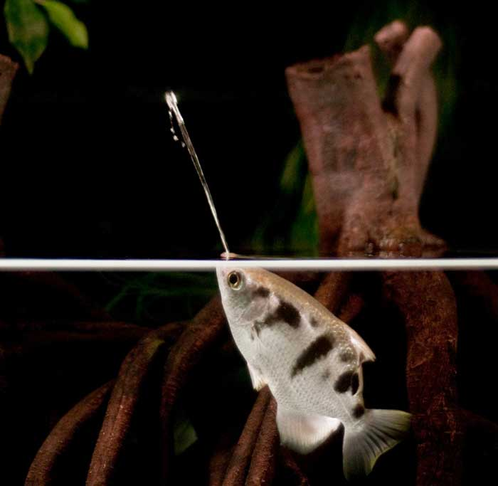 pez arquero dispara un chorro de agua