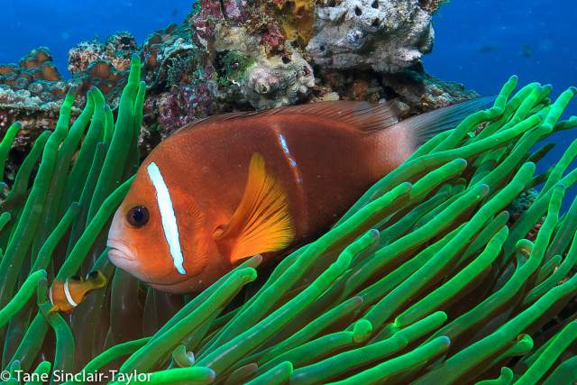 pez payaso de Omán, Amphiprion omanensis