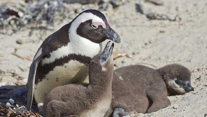 pingüino africano asno (Spheniscus demersus) con sus polluelos